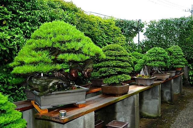 18 bonsais de kimura paisajistas marbella for Bonsai de jardin