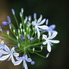 22-la flor del agapanto, la reina del patio de lindaraja