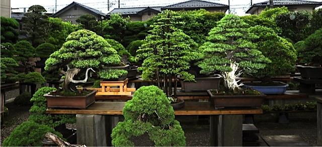 25 bonsais de kimura paisajistas marbella - Jardin de bonsais ...