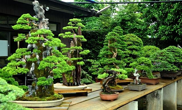 28 bonsais de kimura paisajistas marbella for Bonsai de jardin