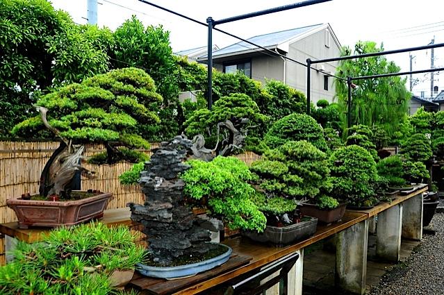 29 bonsais de kimura paisajistas marbella for Bonsai de jardin