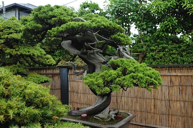 32 bonsais de kimura paisajistas marbella for Bonsai de jardin