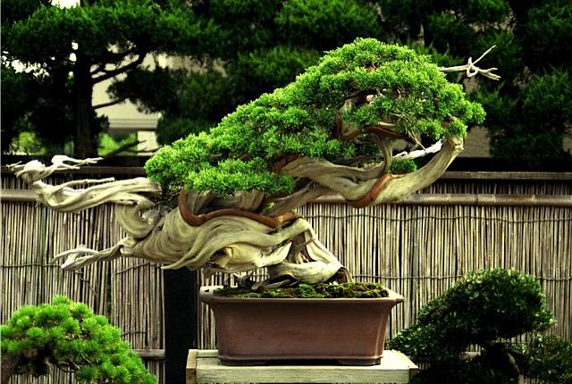 37 bonsais de kimura paisajistas marbella. Black Bedroom Furniture Sets. Home Design Ideas