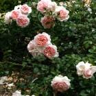 44-rosas-huerta-monjas