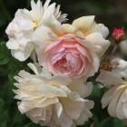 50-rosas-huerta-monjas
