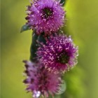 57-flor-del-mirto-huerta-monjas