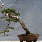 bonsais-manologarcia-37