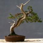 bonsais-manologarcia-42