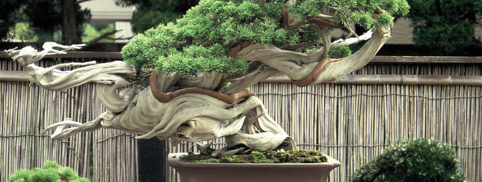 The japanese garden paisajistas marbella for Bonsai de jardin